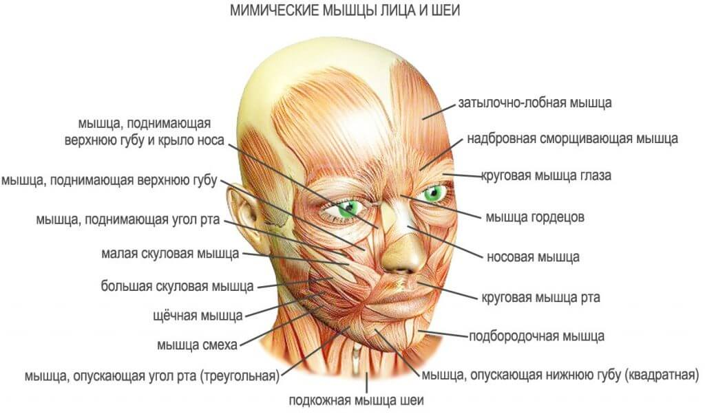 фото мимических мышц лица