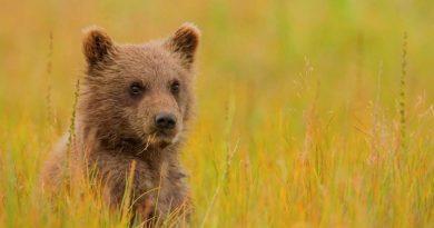 Снится медвежонок