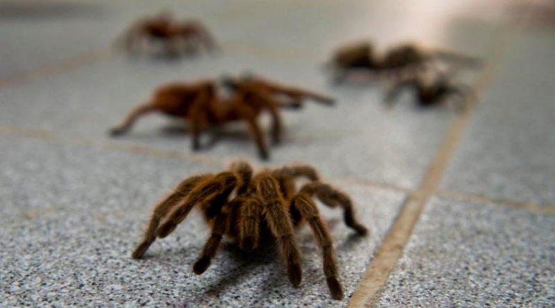 большие пауки