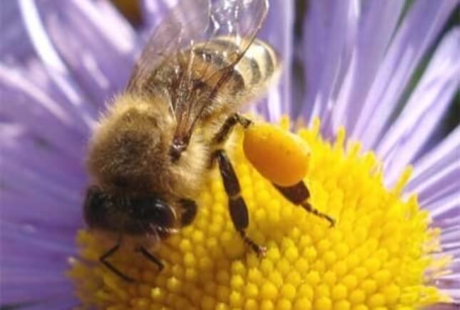 фото пчелиный хлеб