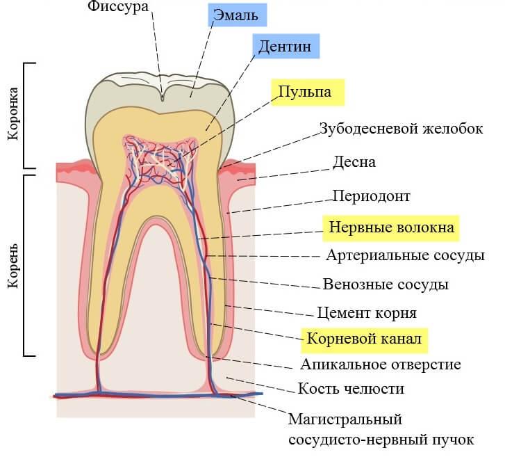 фото где находится нерв в зубе