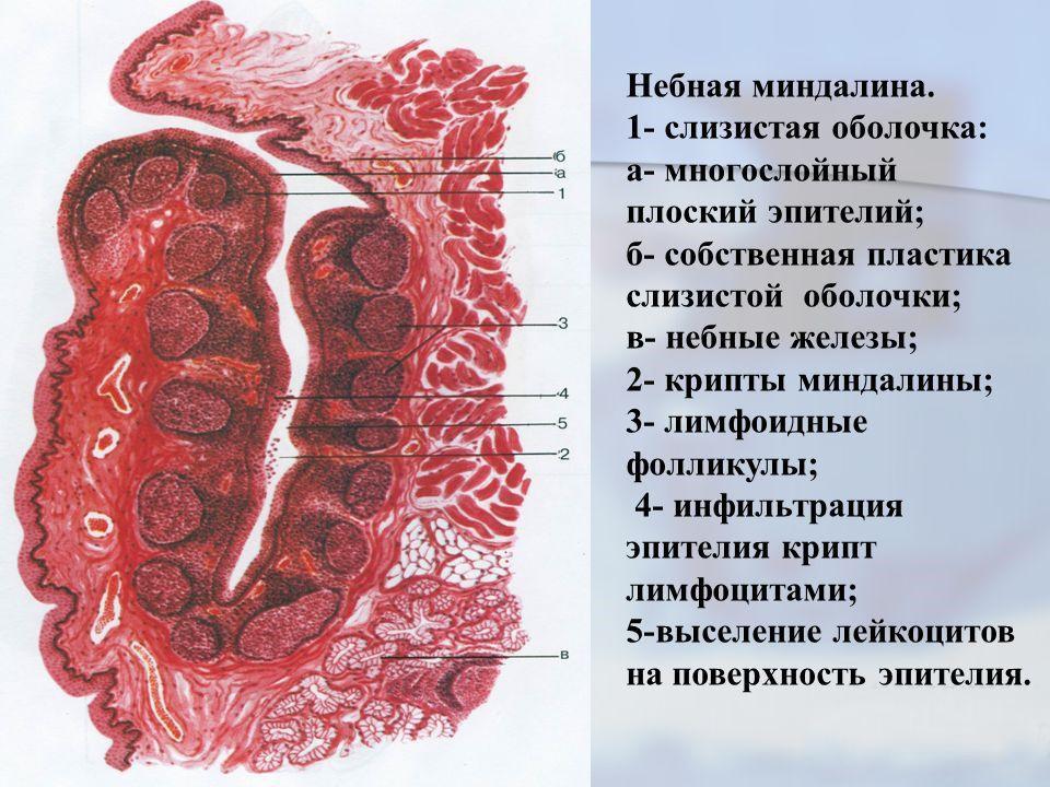 Строение миндалины