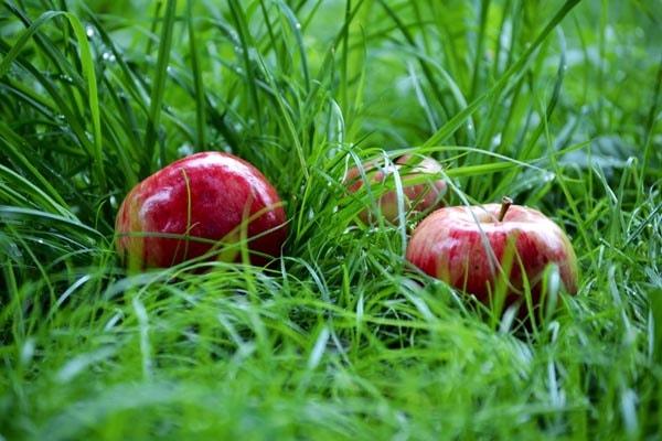 Яблоки в листве