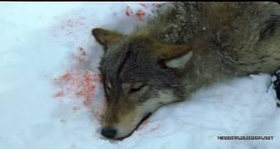 Рецензия на фильм волчица