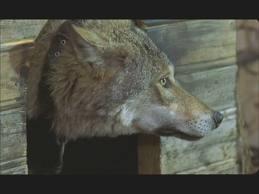 волчица в конуре