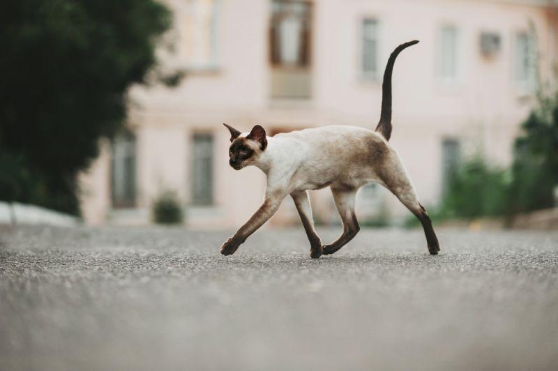 восточная кошка фото